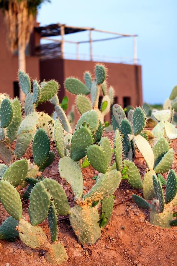 Groene vijgcactus stock foto