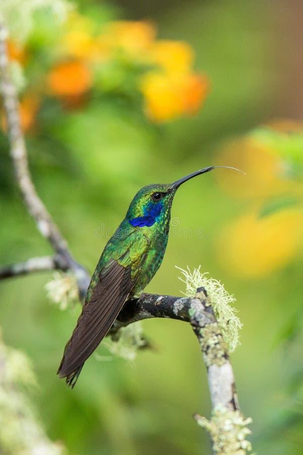Groene violet-oorzitting op tak, kolibrie van tropisch bos, Ecuador die, vogel, uiterst kleine vogel die in regenwoud, duidelijk  stock fotografie