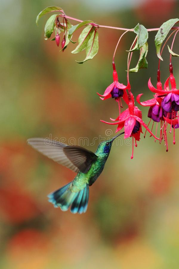 Groene violetear, Colibri-thalassinus, die naast rode bloem in tuin, vogel van berg tropisch bos hangen, Costa Ri stock foto's