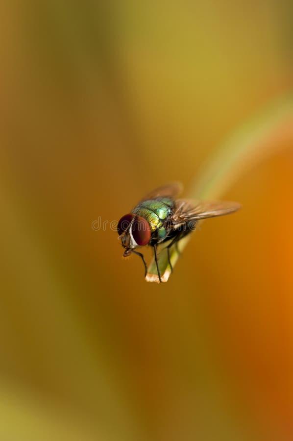 Groene Vlieg stock foto