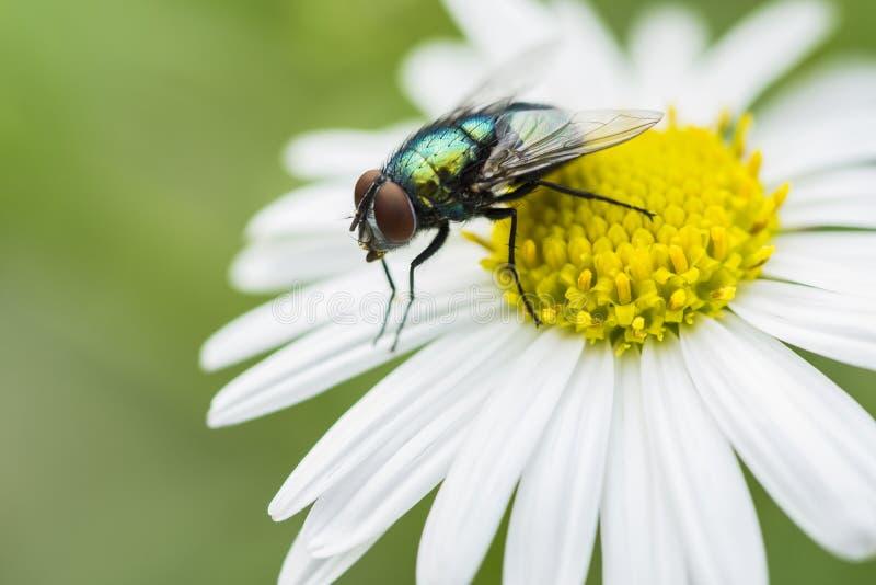 Groene vlieg op de macro van de bloemzomer stock afbeelding