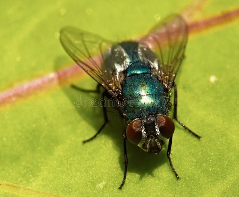 Groene Vlieg op een blad Macro royalty-vrije stock fotografie