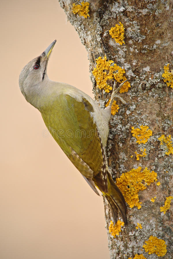 Groene vogel grijs-Geleide de Spechtzitting van Nice op de boomboomstam met geel korstmos stock foto's