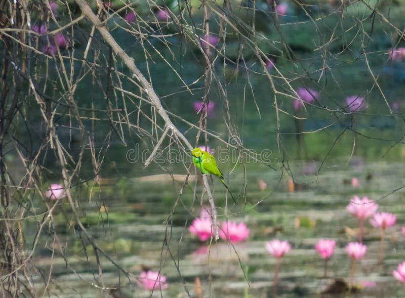 Groene vogel op tak, lotusbloembloem op achtergrond royalty-vrije stock fotografie