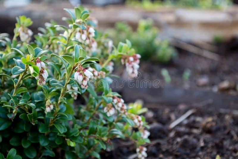 Groene weelderige struikamerikaanse veenbessen met witte bloemen Vaccinium vitis-idaea stock afbeeldingen