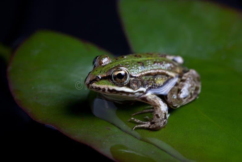 Groene weerspiegelde kikker stock afbeelding