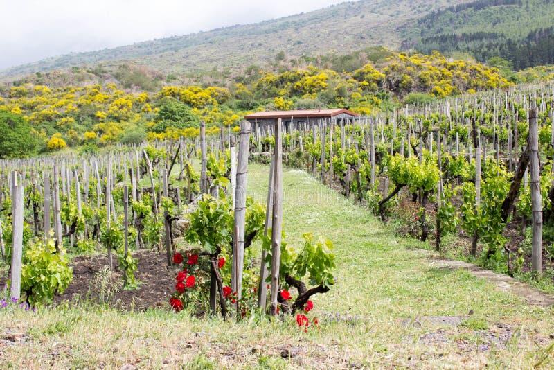 Groene wijngaard in Sicilië royalty-vrije stock foto