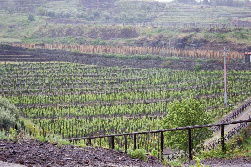 Groene wijngaard in Sicilië stock fotografie