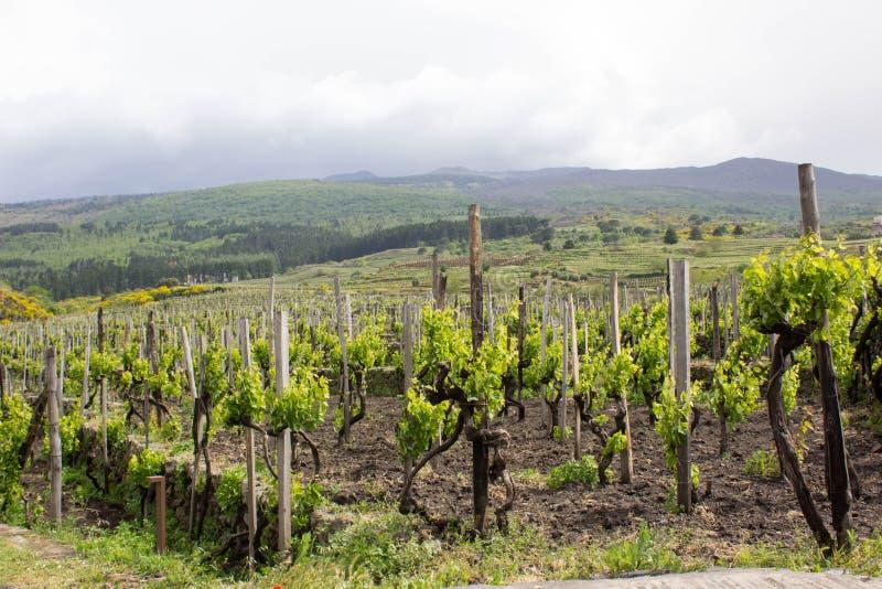 Groene wijngaard in Sicilië royalty-vrije stock afbeelding