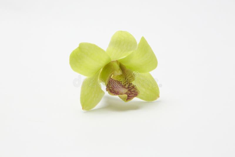 Groene witte wasachtige Orchideebloemen stock afbeelding