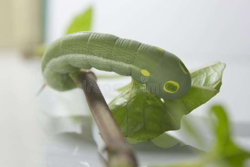 Groene worm met bladeren royalty-vrije stock afbeelding