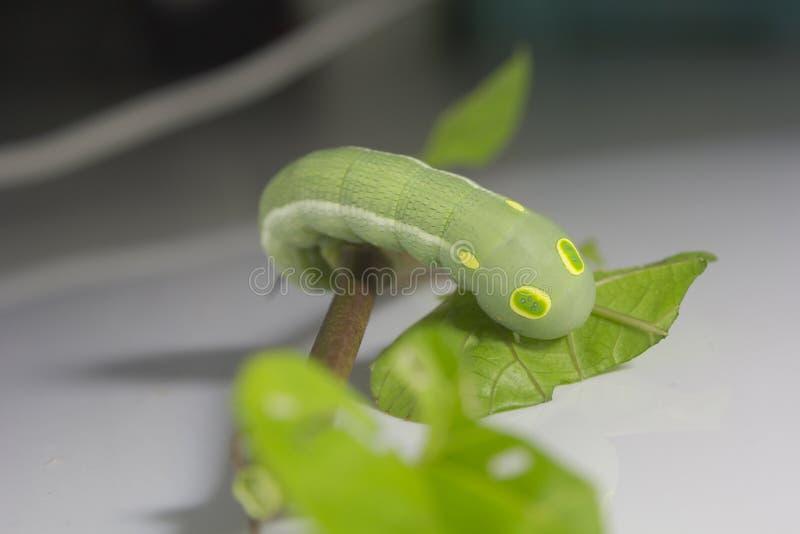Groene worm met bladeren royalty-vrije stock foto