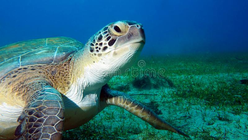 Groene Zeeschildpad die een camera onderwater met blauwe achtergrond kijken royalty-vrije stock afbeeldingen