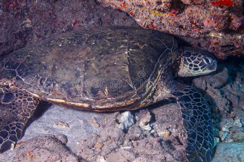 Groene zeeschildpad stock fotografie