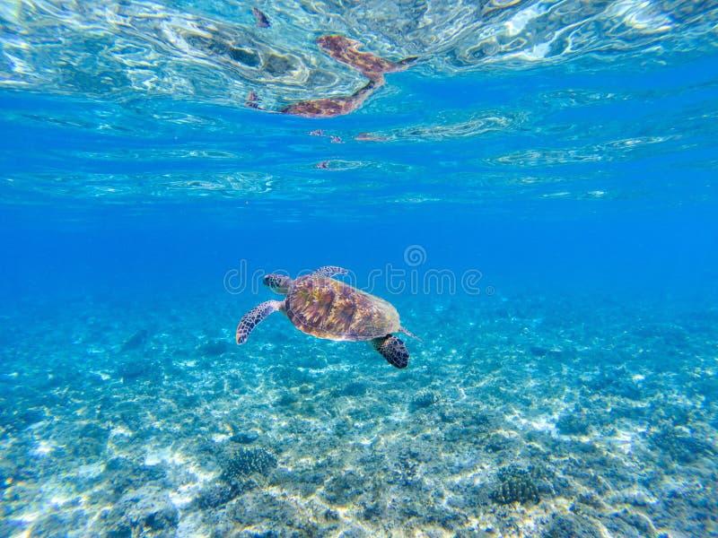 Groene zeeschildpad onderwaterfoto Zonnige tropische lagune en marien dier royalty-vrije stock foto