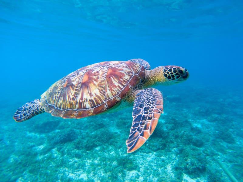 Groene zeeschildpad in zeewater Leuke zeeschildpadclose-up Mariene species in wilde aard stock afbeelding