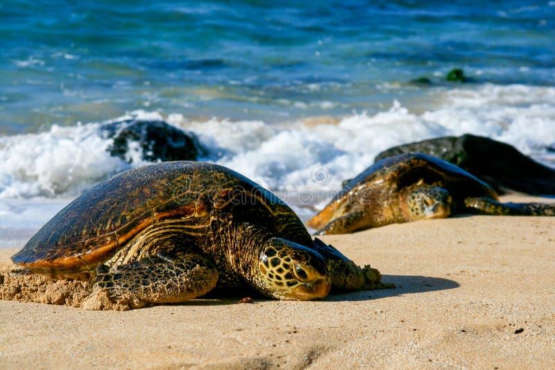 Groene Zeeschildpadden stock foto's