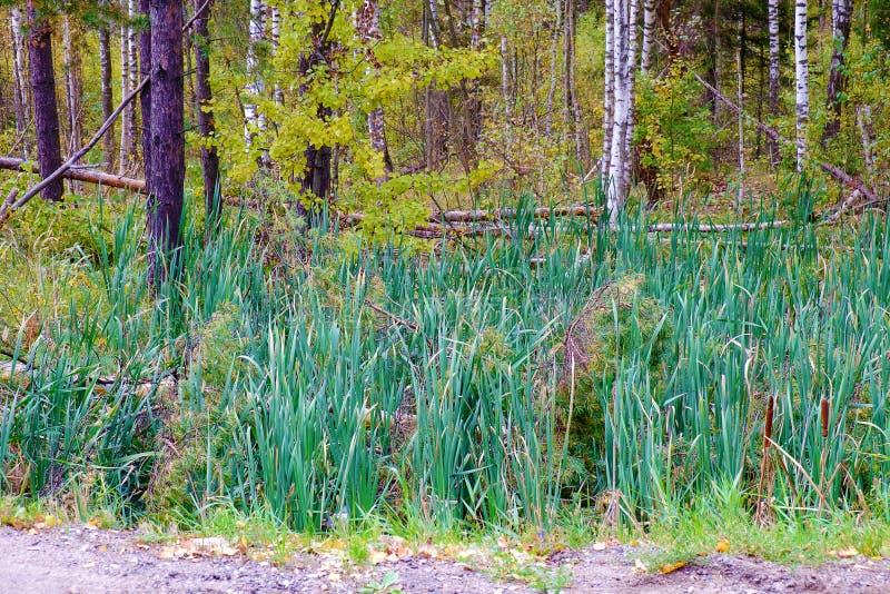 Groene zegge op een moeras in de zomer stock afbeeldingen