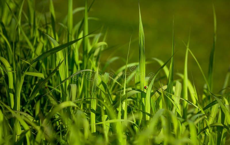 Groene zegge op moeras royalty-vrije stock foto's