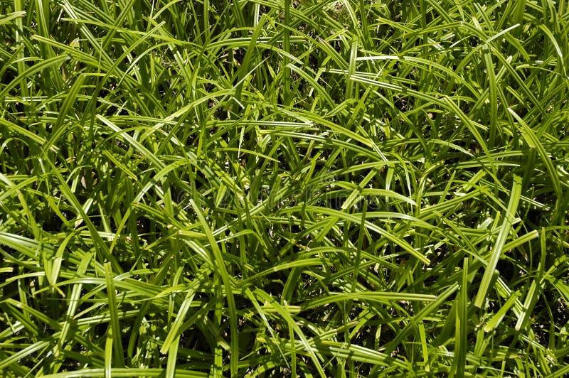 Groene zeggeclose-up stock fotografie