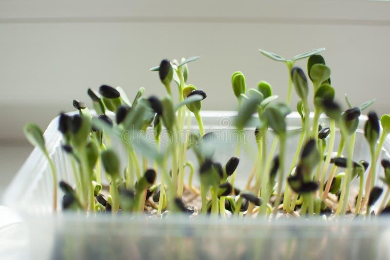 Groene zonnebloemzaden die in plastic doos ontkiemen De groei van verse en ruwe spruiten Gezond voedselconcept, microgreens stock afbeelding