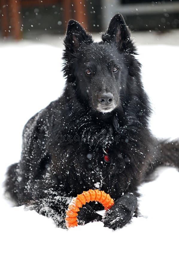 Groenendael in de sneeuw stock afbeeldingen