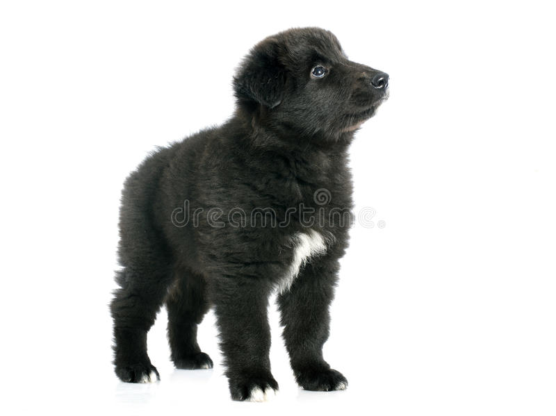 Groenendael del cucciolo immagini stock libere da diritti