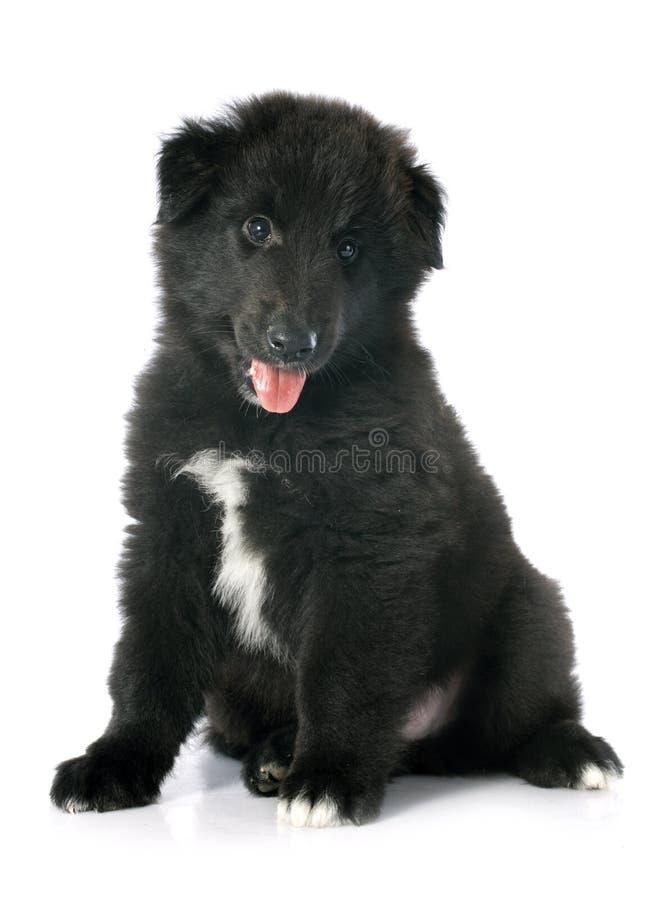 Groenendael del perrito fotos de archivo libres de regalías