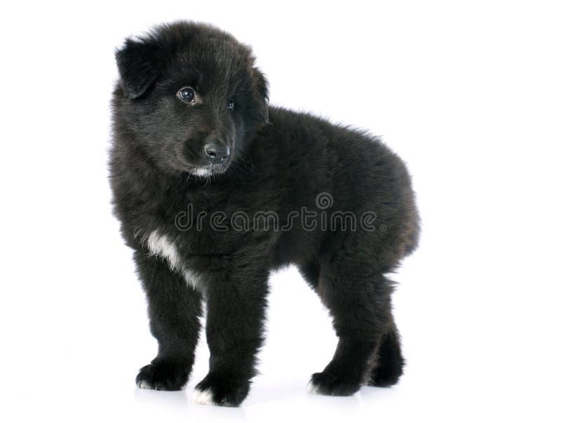 Groenendael del perrito foto de archivo libre de regalías