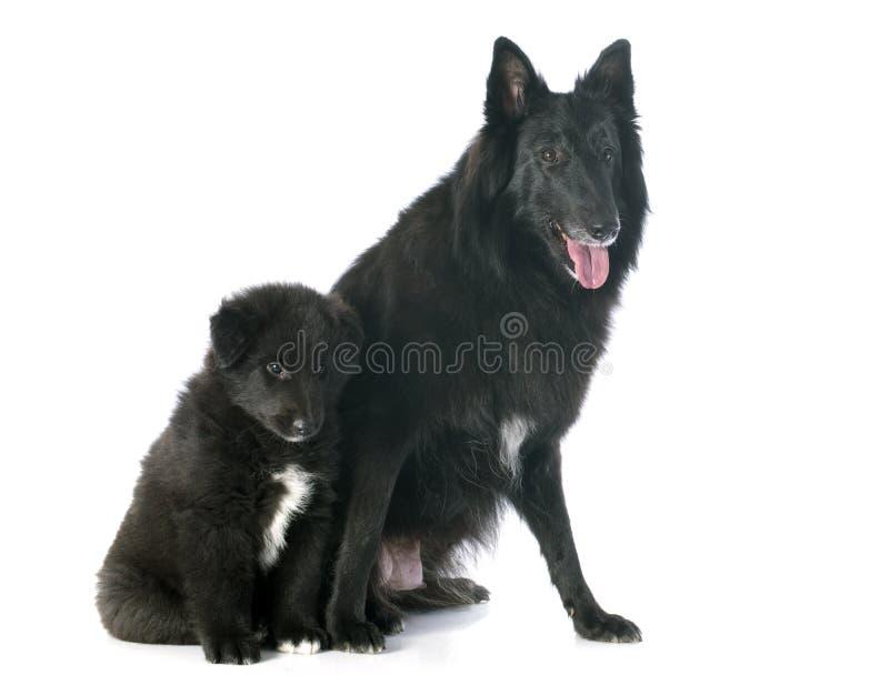 Groenendael dell'adulto e del cucciolo fotografie stock libere da diritti