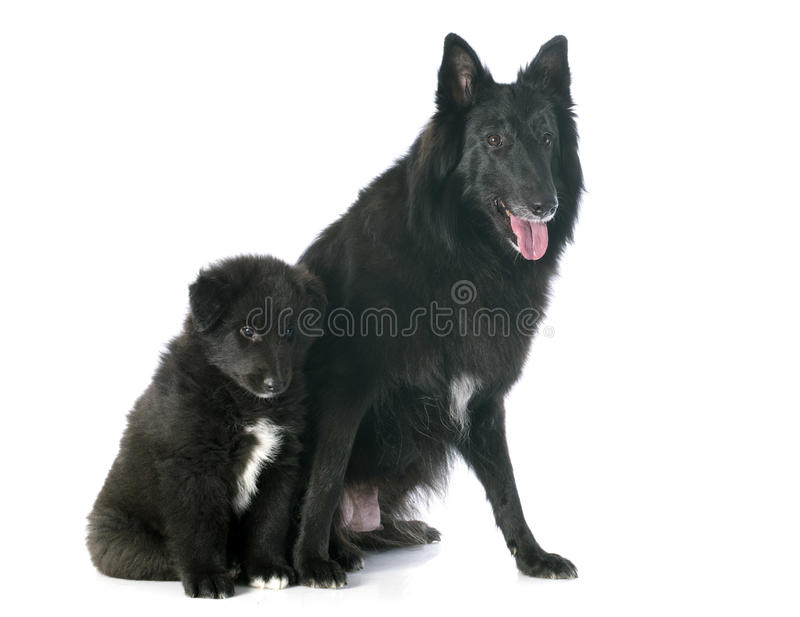 Groenendael do cachorrinho e do adulto fotos de stock royalty free