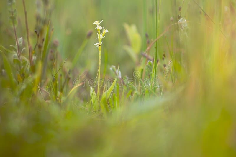 Groenknolorchis, Fenn-Orchidee, Liparis loeselii lizenzfreies stockbild