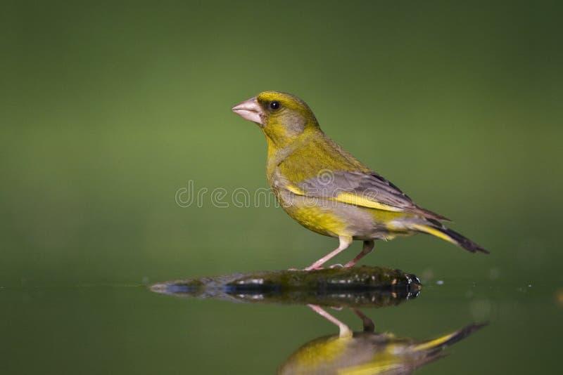 Groenling europé Greenfinch, Chlorischloris fotografering för bildbyråer