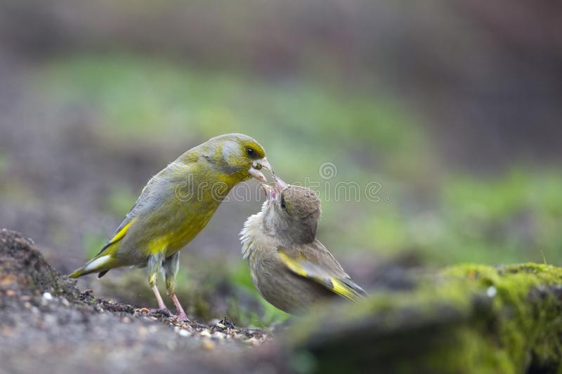 Groenling, Europese Greenfinch, Carduelis-chloris royalty-vrije stock foto's