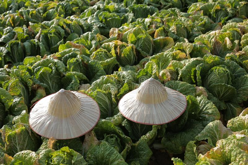 Groente in het groene landbouwbedrijf bij platteland royalty-vrije stock fotografie