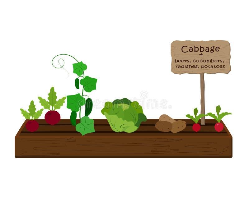 Groenten en planten telen op één bed in de tuin Kool, radijs, komkommer, aardappel royalty-vrije illustratie