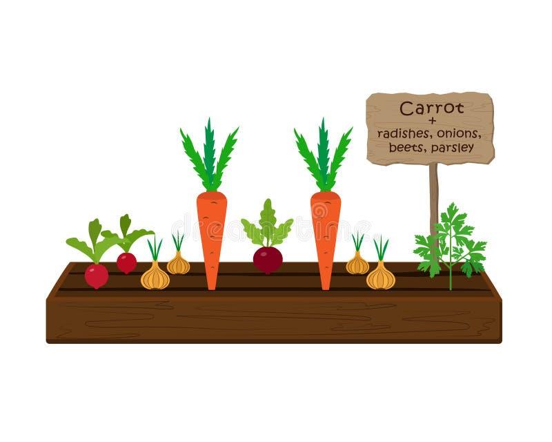 Groenten en planten telen op één bed in de tuin Wortelen, peterselie, radijs, beet, uien stock illustratie