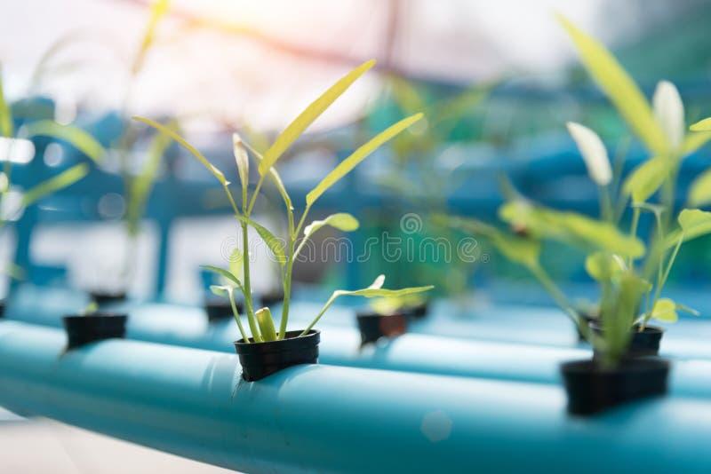 Groentenhydrocultuur die op landbouwgrondachtergrond bewerken Natuurvoeding en Gezond concept Nieuwe technologie en Moderne landb royalty-vrije stock foto