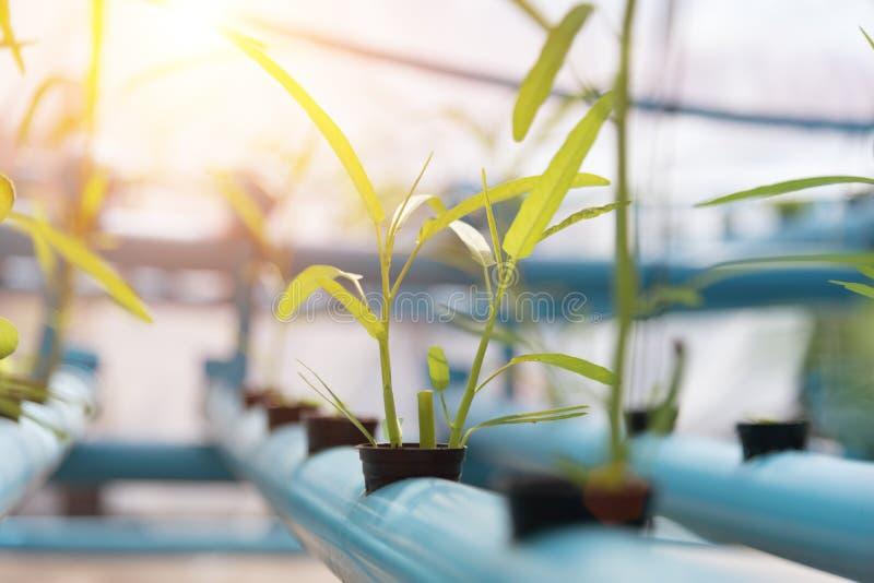 Groentenhydrocultuur die op landbouwgrondachtergrond bewerken Natuurvoeding en Gezond concept Nieuwe technologie en Moderne landb stock foto