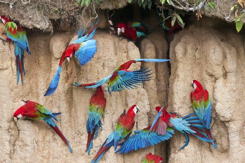 Groenvleugelara,红和绿的金刚鹦鹉, Ara chloropterus 免版税库存图片