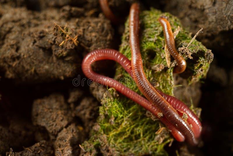 Groep aardwormen op zoetwateralgen royalty-vrije stock afbeeldingen