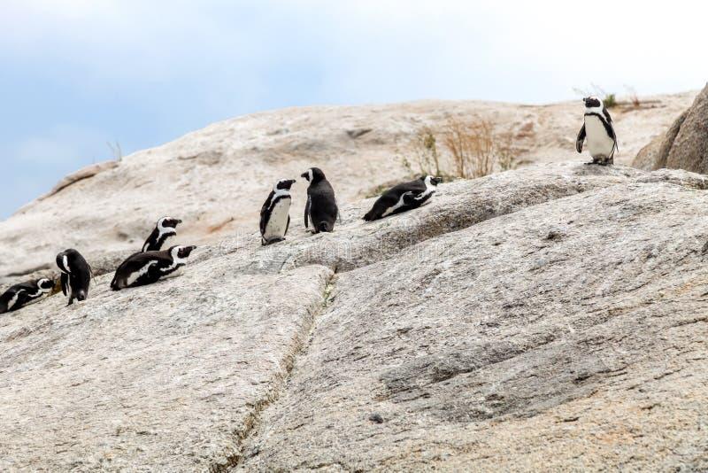 Groep Afrikaanse pinguïnen die met elkaar op de rotsen bij Keienstrand in wisselwerking staan in Cape Town, Zuid-Afrika stock afbeeldingen