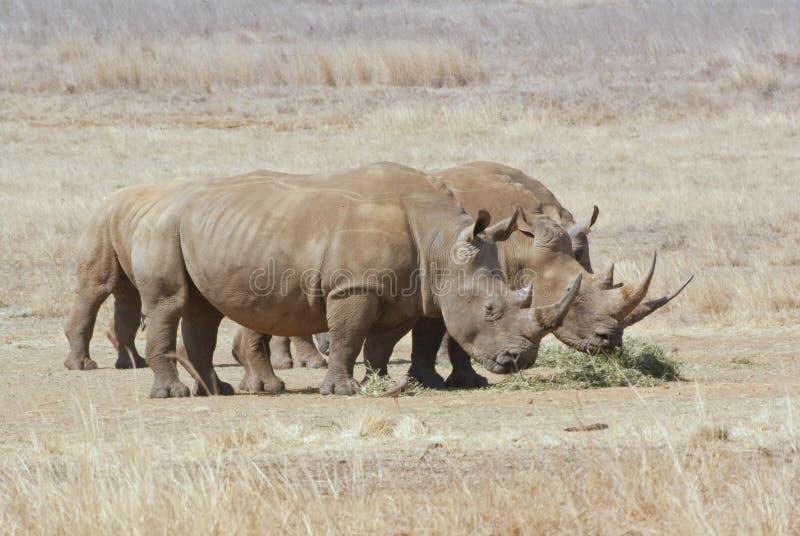 Groep Afrikaanse witte rinocerossen royalty-vrije stock fotografie