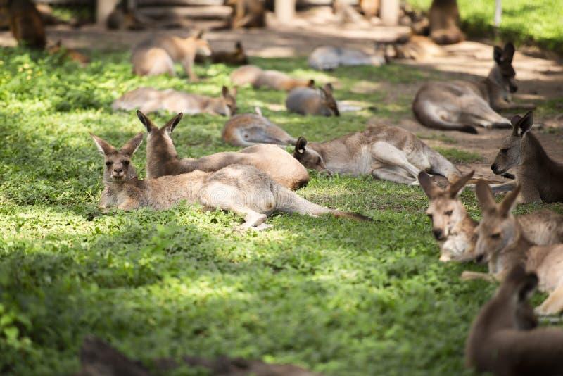 Groep Australische kangoeroes stock foto