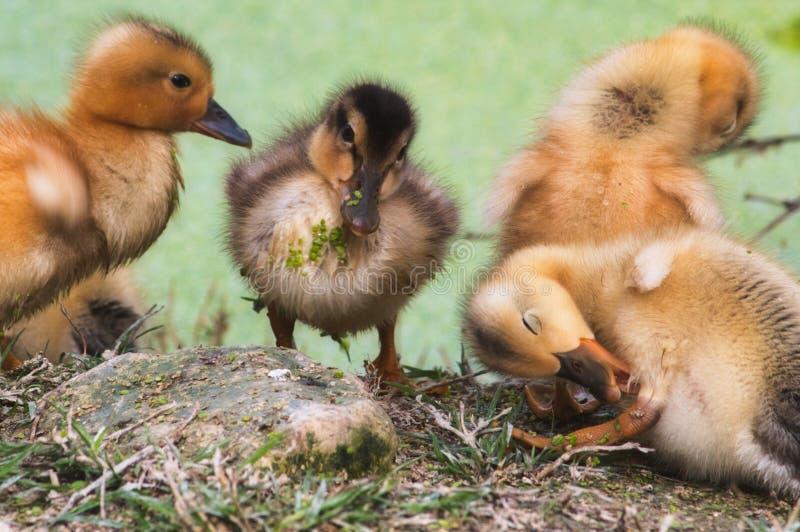 Groep babyeendjes op de kust van een meer in het bos die schoonmaken royalty-vrije stock afbeelding