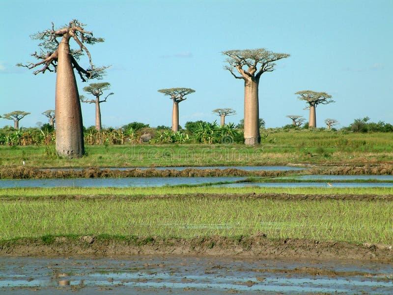 Groep baobabs - wat zichtbaar lawaai royalty-vrije stock foto