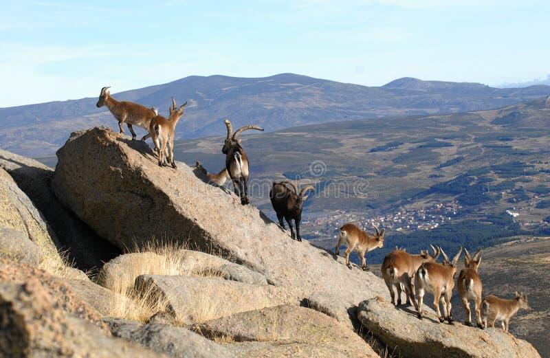 Groep berggeiten in de Siërra stock fotografie