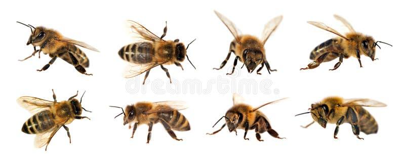 Groep bij of honingbij op witte achtergrond, honingbijen stock foto's