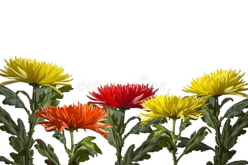 Groep bloemen geeloranje asters bij bodemrij op een witte achtergrond stock afbeelding