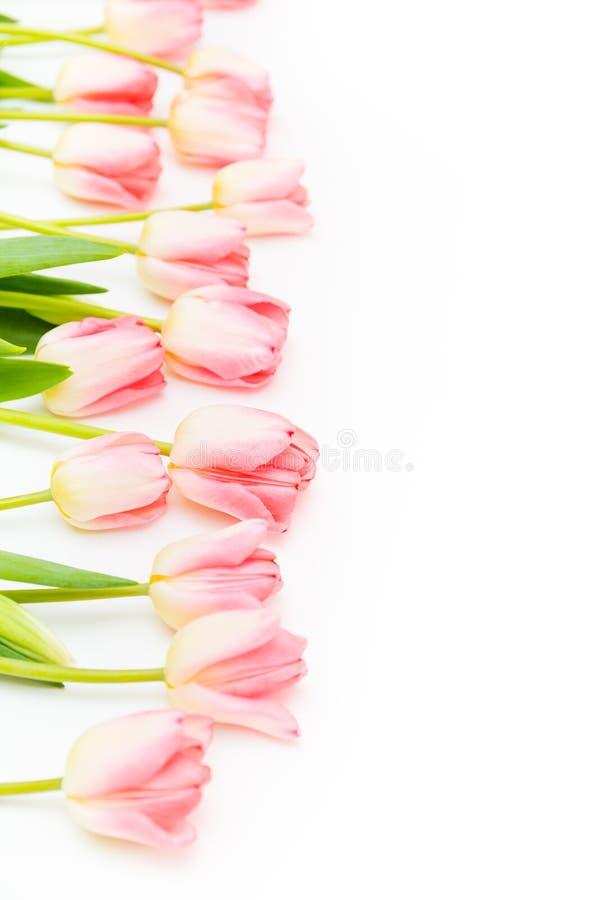 Groep bloemen roze tulpen op een witte achtergrond Panorama Het landschap van de lente royalty-vrije stock afbeeldingen